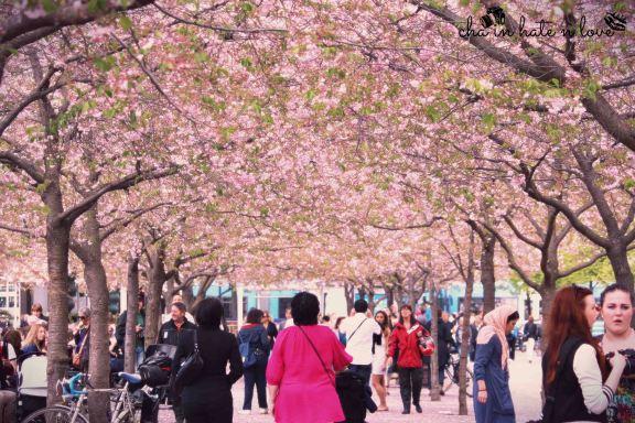 Cherry Blossom dan keramaian