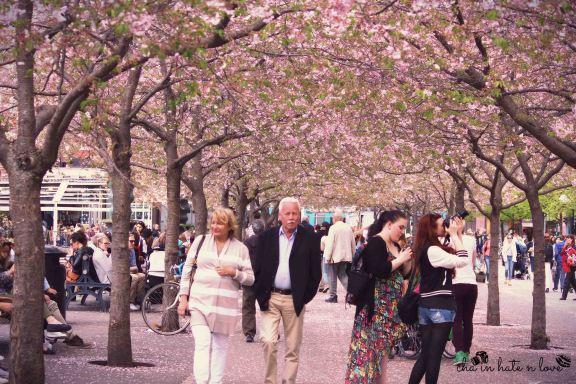 Berjalan dibawah pohon Cherry Blossom