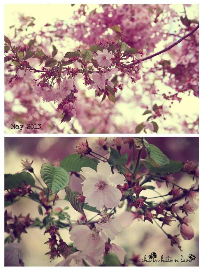 Bunga Sakura = Jap. Cherry Blossom = Körsbärs